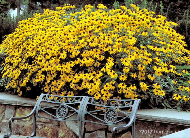 Perennials dooley landscape designs albuquerque black eyed susan mightylinksfo