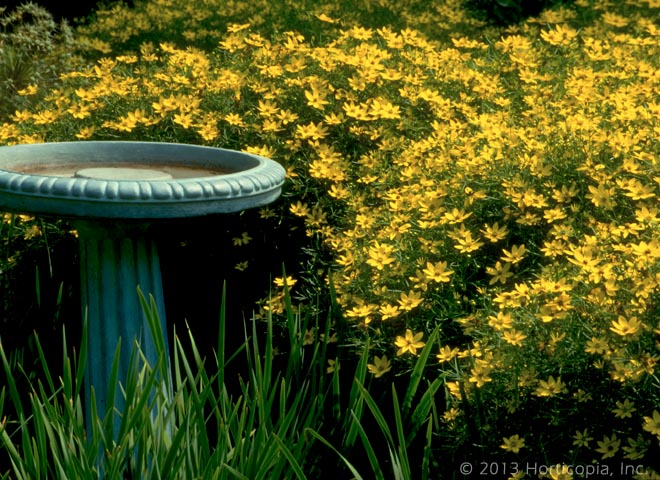 Perennials dooley landscape designs albuquerque coreopsis nice small perennial that blooms for long periods 18 tall and wide yellow flowers that must be cut to ground in winter mac audio mightylinksfo