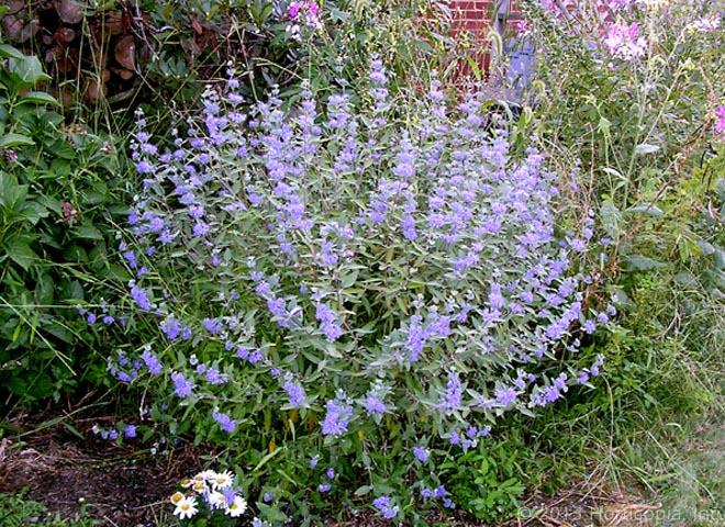 Tall flowering shrubs flower inspiration for Tall flowering shrubs
