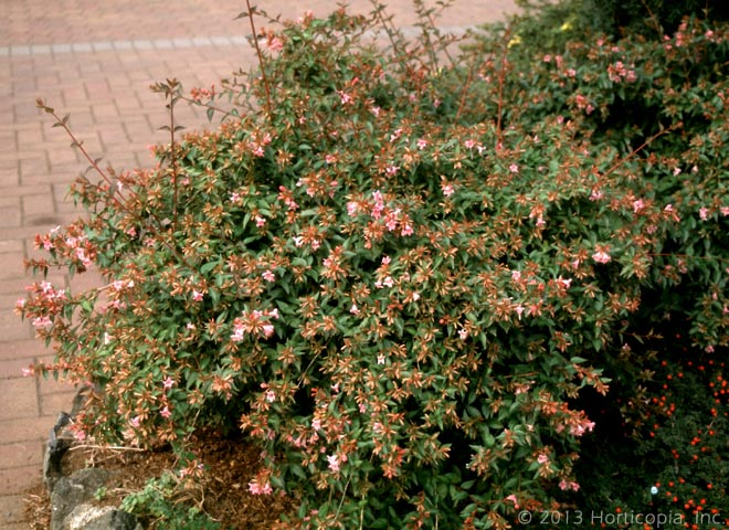 Pink Abelia Semi Evergreen Shrub With A More Traditional Look Trumpet Shaped Small Flowers From Summer Till Fall Bronze Color Max Height