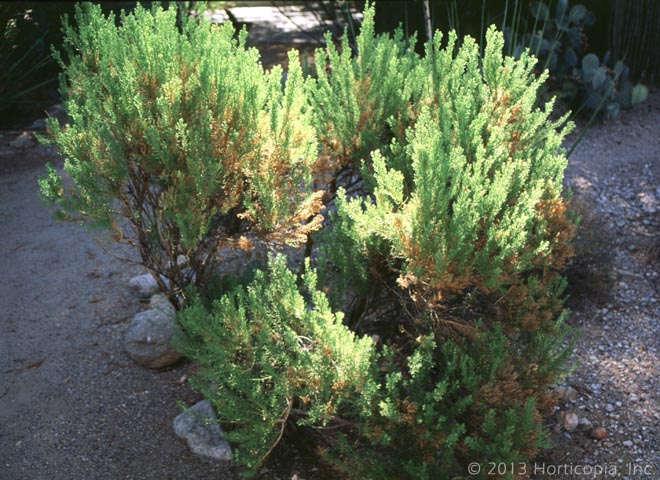 Shrubs Dooley Landscape Designs Albuquerque