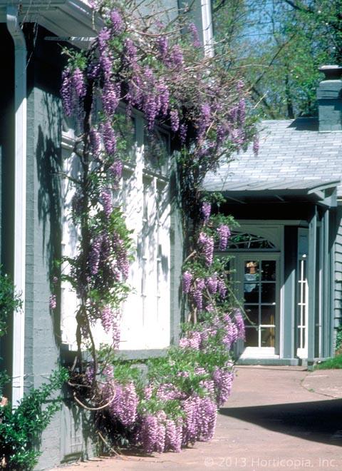 Landscape Vines Dooley Landscape Designs Albuquerque
